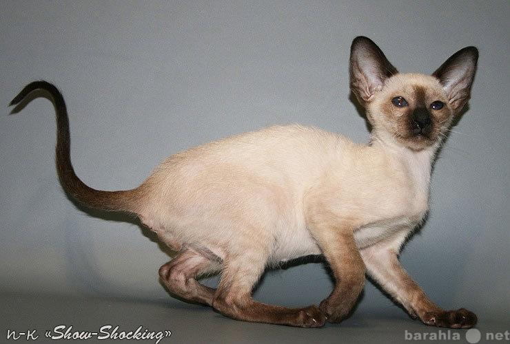 Продам Ориентальные котята,окр.голуб,сил-пойнт