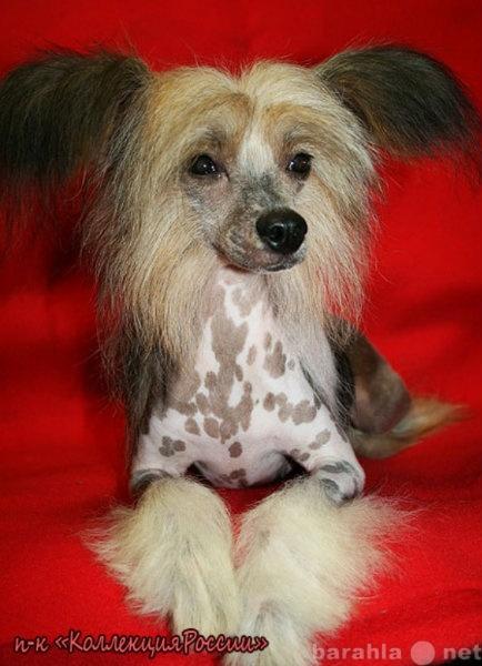 Продам Китайской хохлатой щенки,пухов. и голыши