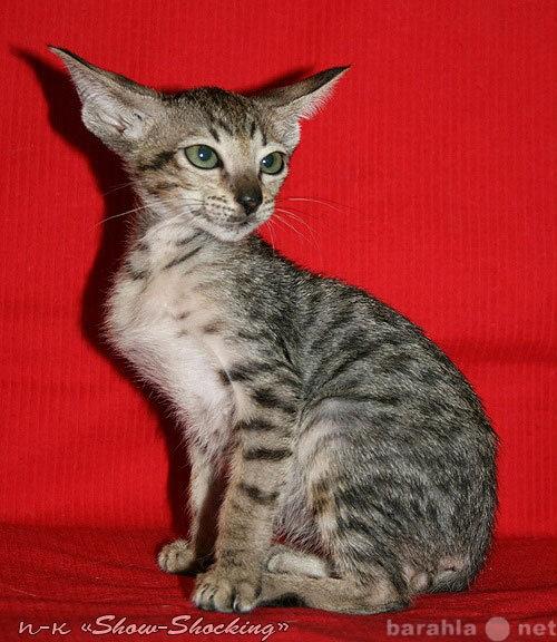 Продам Ориентальные котята,окр.голубой,пойнт.