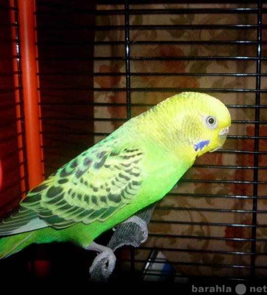 Продам Волнистый попугайчик