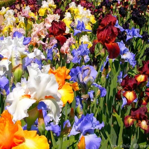Продам Многолетние цветы на сезон 2013