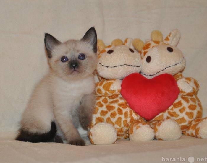 Продам Тайские (старо сиамские) котята