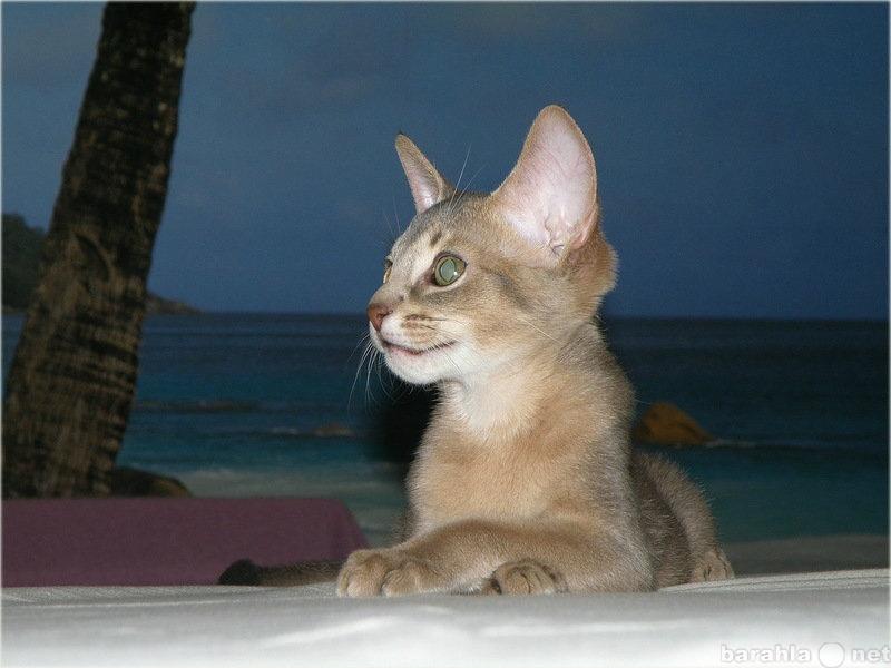 Продам Голубой абиссинский котик