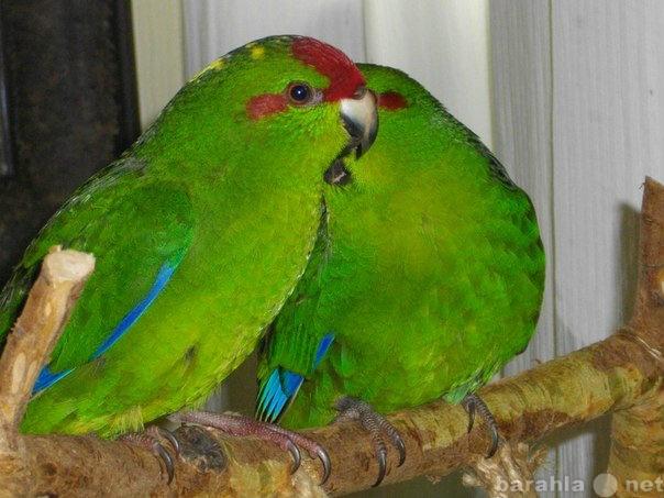 Приму в дар: Приму в хорошие руки попугая  или пару