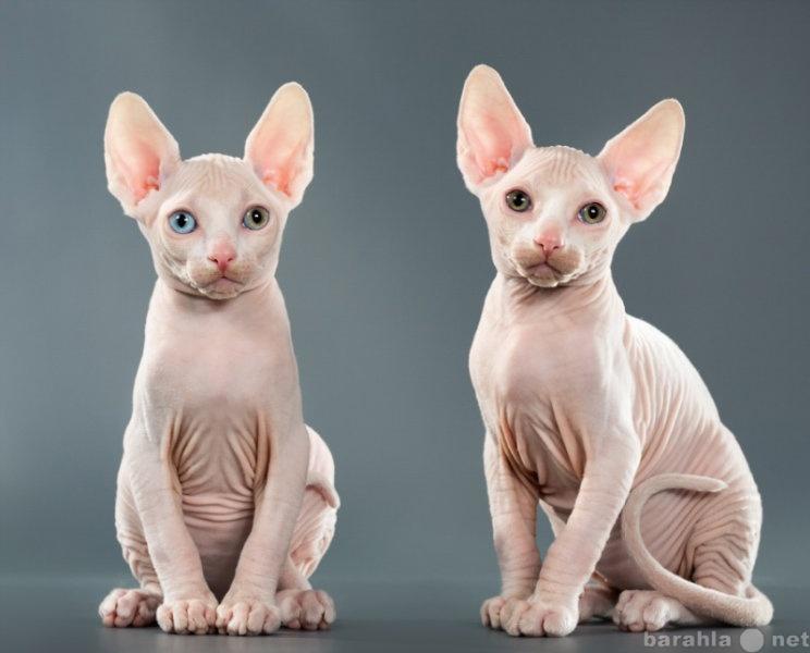 Продам Белые разноглазые котята сфинксы