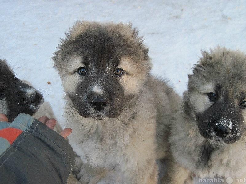Продам Щенки кавказской овчарки