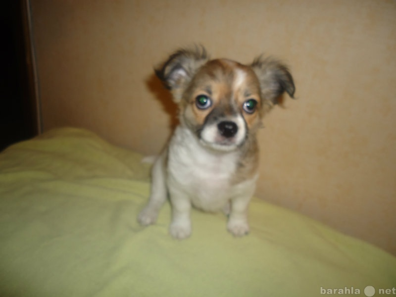 Продам щенок чихуахуа