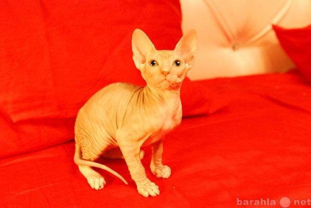 Продам Продам котят Донского сфинкса!