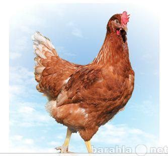 Продам Курица-несушка, молодка