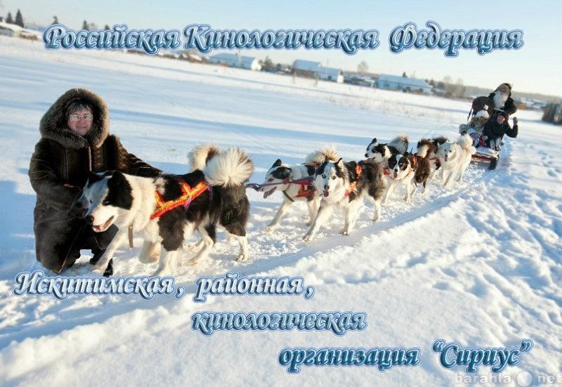 Продам щенки Якутской  лайки