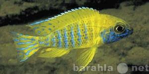 Продам: Аквариумные рыбки