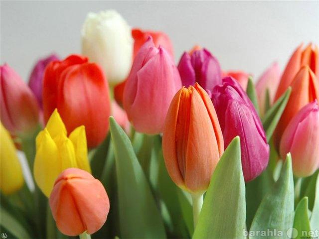 Продам Тюльпаны оптом и в розницу