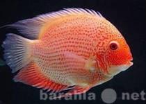 Продам рыбка северум красноточечный