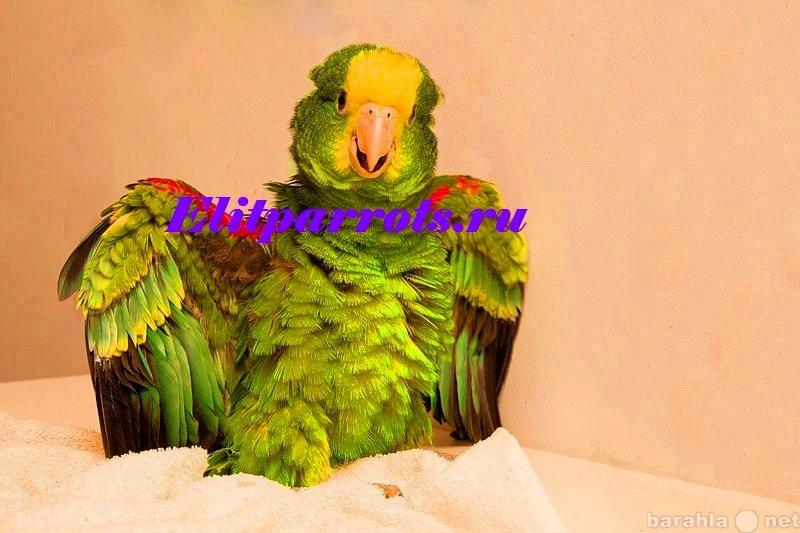 Продам Желтоголовый амазон (Amazona oratrix)