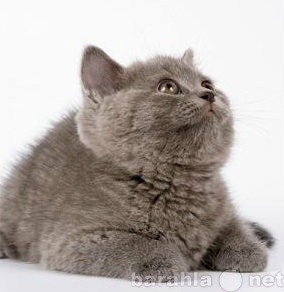 Продам Шикарный котенок-медвежонок