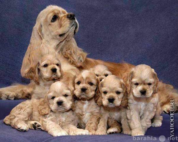 Продам щенки американского кокер спаниеля
