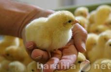 Продам цыплята ,утята ,гусята