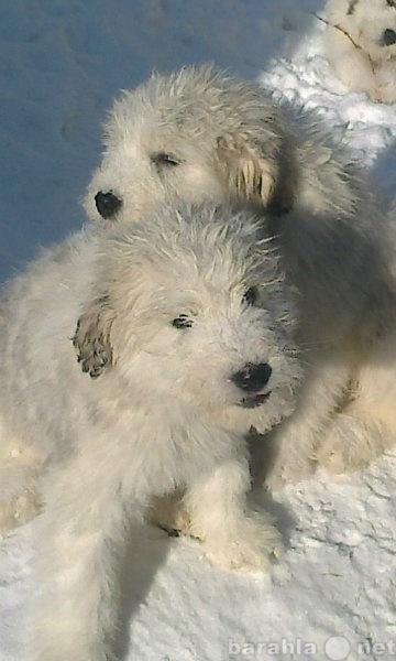Продам Южнорусская овчарка щенки