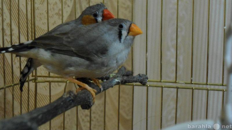 Продам птицы Амадины молодые