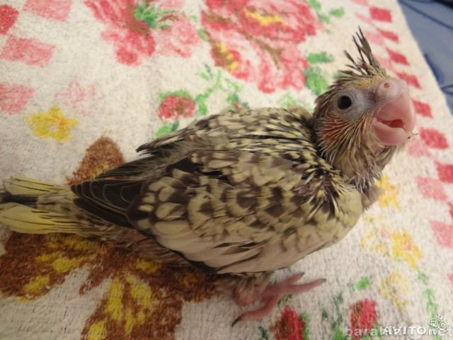 Продам: Птенцы говорящих попугаев корелл