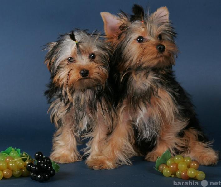 Продам щенки йоркширского терьера