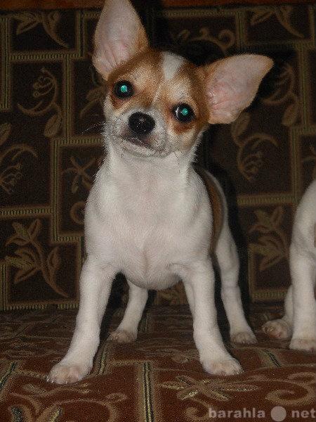 Продам Чихуахуа щенки от титулованных родителей