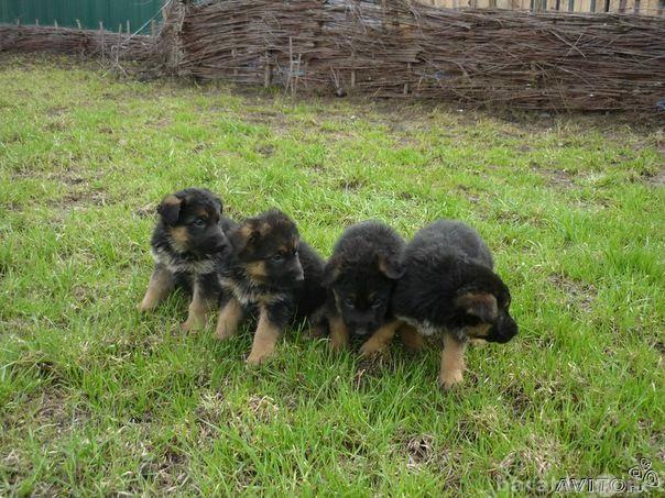 Продам Щенки немецкой овчарки
