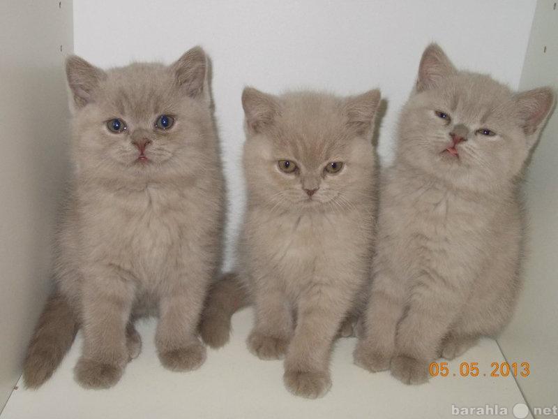 Продам Очаровательные британские лиловые котята