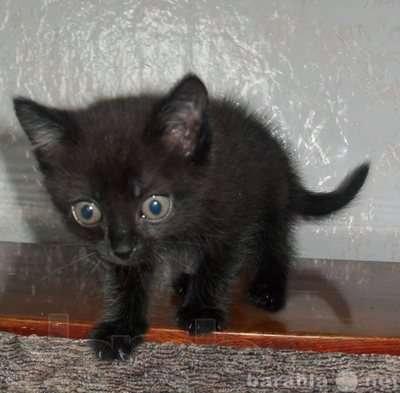 Отдам даром черные и дымчатые котята