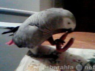 Продам попугая Жако