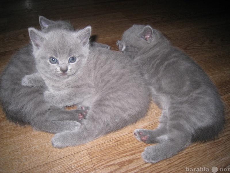 Продам британских котят