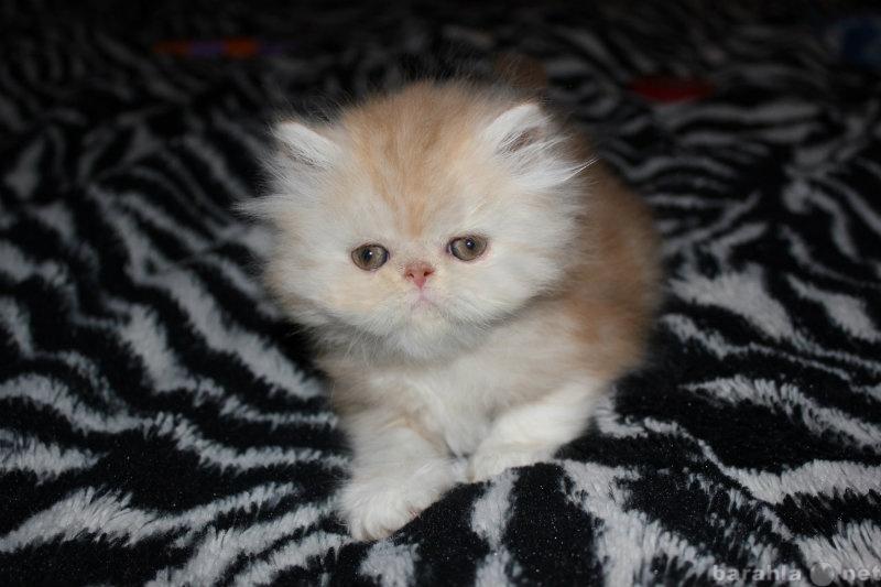 Продам Персидские котята с документами