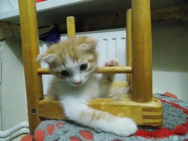 Продам Шотландский вислоухий котик