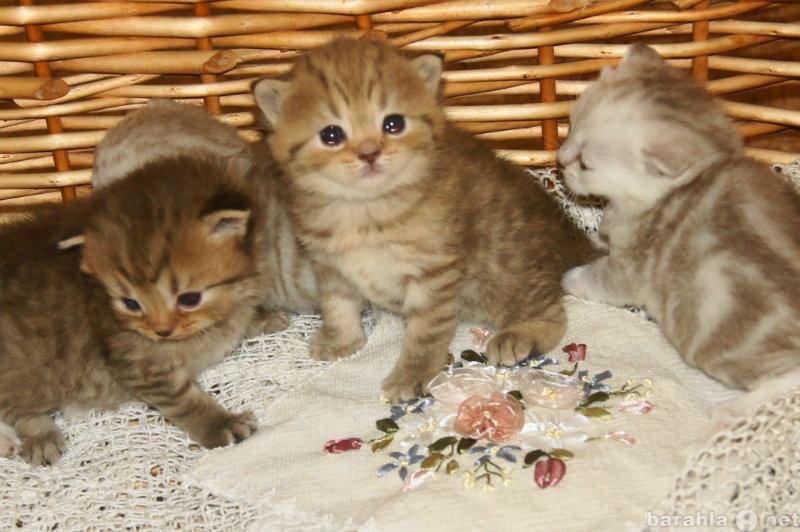 Продам Шоттландские котята продажа