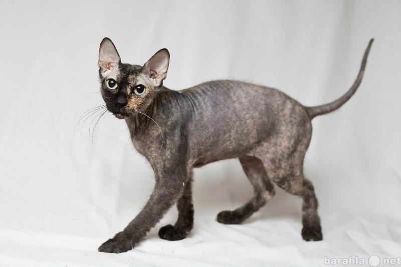 Фотография сфинкс кошка высотники