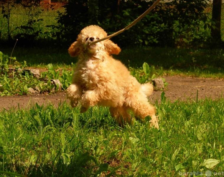 Продам щенок карликового пуделя-золотой мальчик
