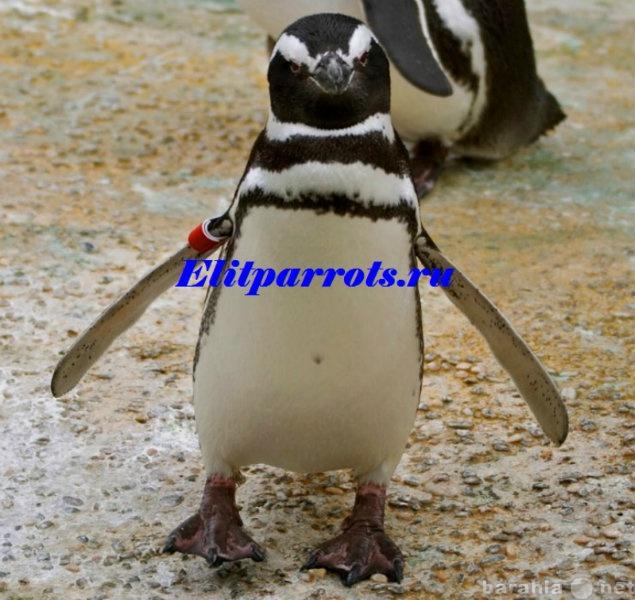 Продам Пингвины из питомников Испании,ФРГ