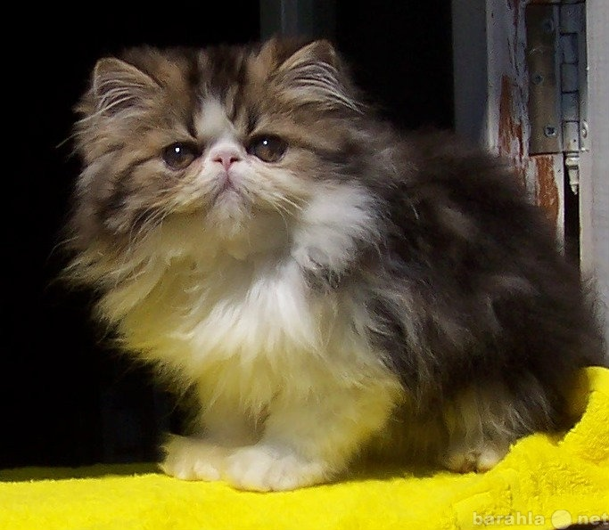 Продам Персидский котик