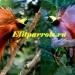 Продам Большая райская птица из пит. Австралии