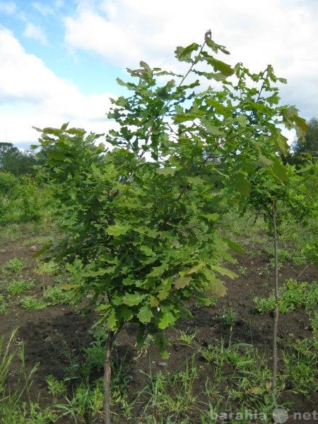 Продам Саженцы деревьев и кустарников