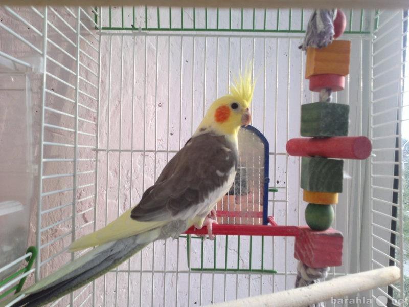 Продам Попугай - корелла