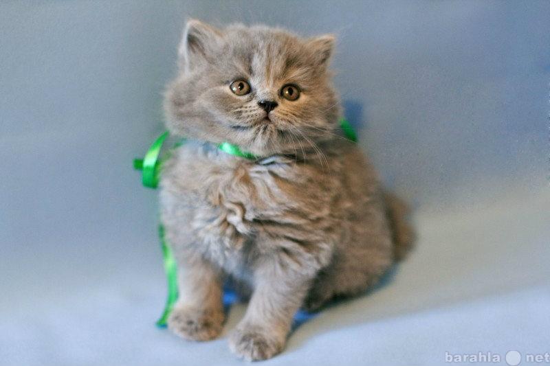 Продам котят британской короткошерстной