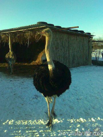 Продам Африканские страусы