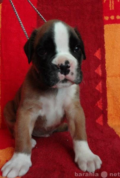 Продам Боксера щенки рыжие с отличной родословн