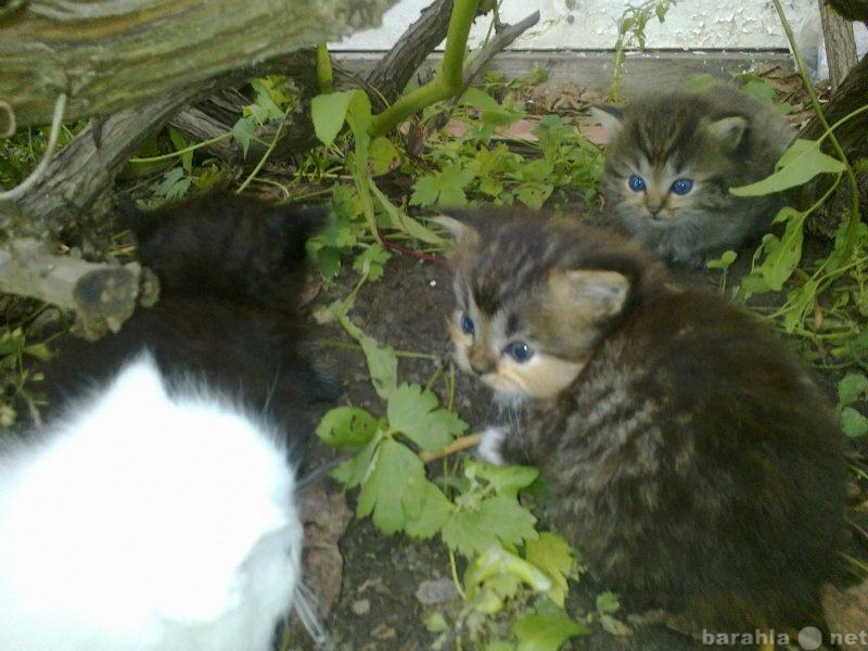 Отдам даром: миленьких котят от кошки полуперса
