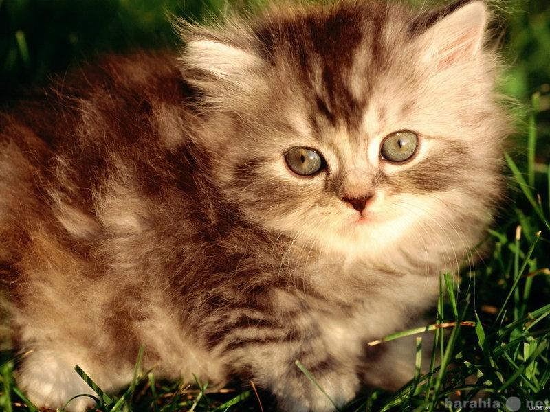 Отдам даром: Отдам пушистых ангорских котят серых и п