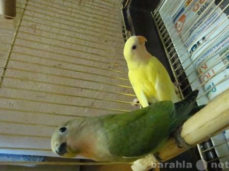 Продам: попугайчики-розовощекие неразлучники