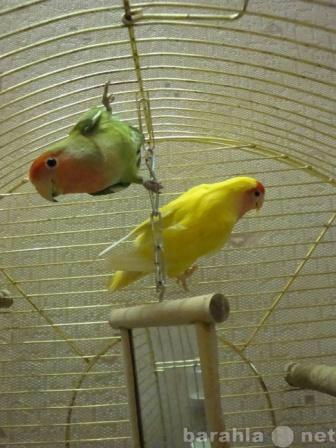 Продам: Семейная пара попугайчиков  неразлучнико