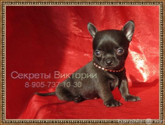 Продам Красивые РЕДКИХ ОКРАСОВ щенки чихуахуа