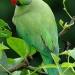 Продам самку ожерелового попугая
